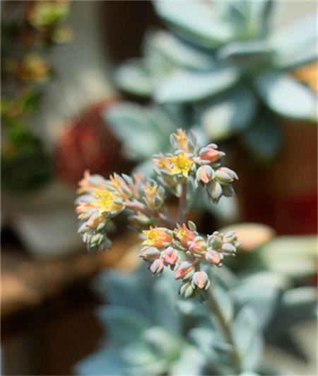 海星怎么养_多肉植物开花图片 - 花百科