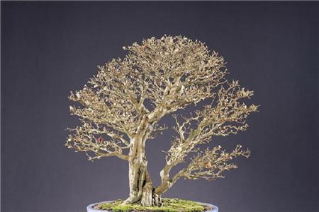 樱桃树盆景图片-盆栽樱桃的五个方法图片