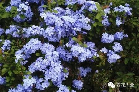 蓝雪花花墙