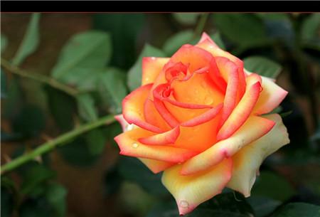 月季和玫瑰叶子不同