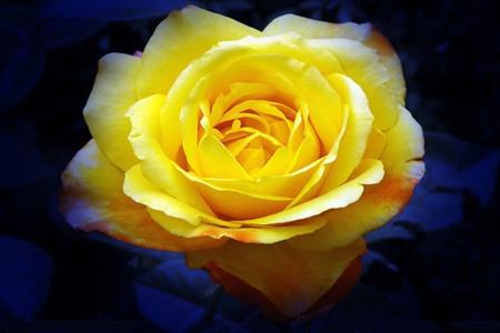 月季和玫瑰香味不同