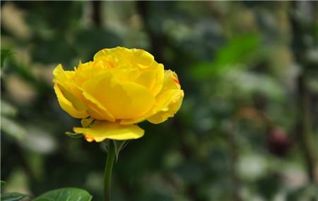 月季和玫瑰花期不同