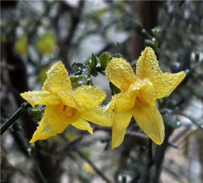 花卉常见病害一:倒春寒