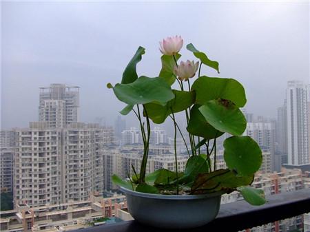 阳台上的碗莲