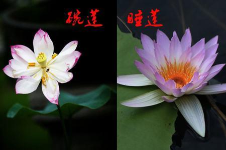 碗莲和睡莲花朵不同