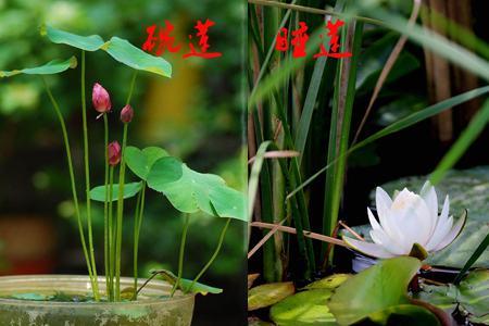 碗莲和睡莲属性不同