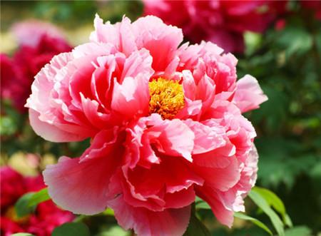 花中之王牡丹