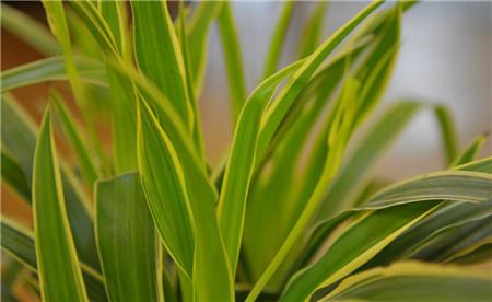 14、绿色仙子 吊兰