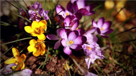 16、红花二姊妹 红花、藏红花