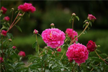 18、花中双绝 牡丹、芍药