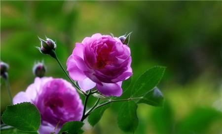 22、蔷薇三姊妹 蔷薇、月季、玫瑰