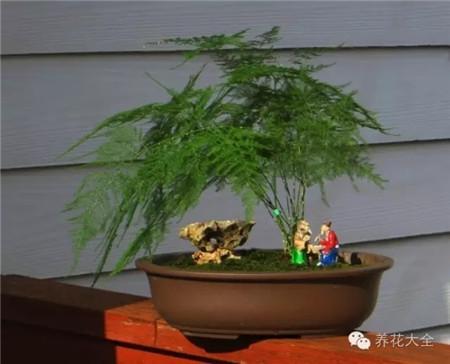 文竹 养护方法