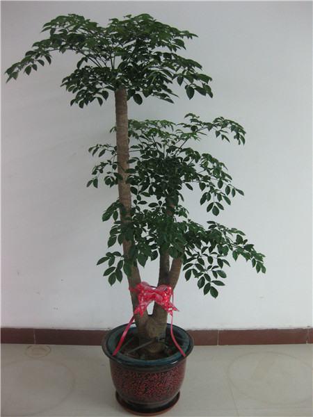 浇水原因导致幸福树掉叶子