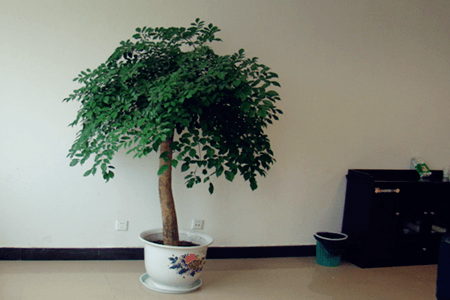 幸福树放在客厅