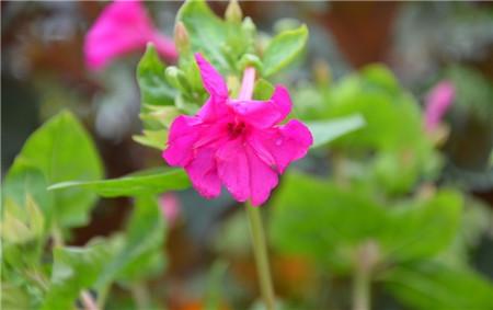 紫茉莉的名称由来