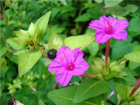 紫茉莉的药用作用