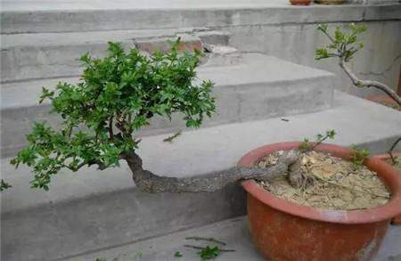 灌木类植物如何修剪?