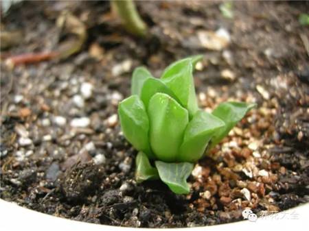 植物生长缓慢或不生长