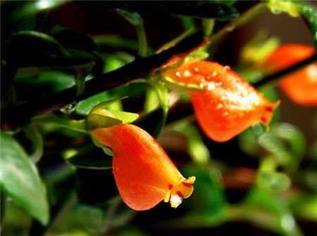 金鱼吊兰不开花原因