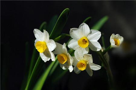 家里有孕妇能养水仙花吗?