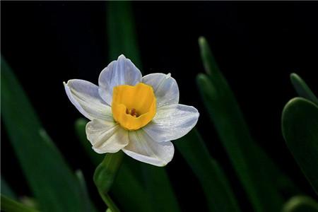 家里养水仙花需要注意什么