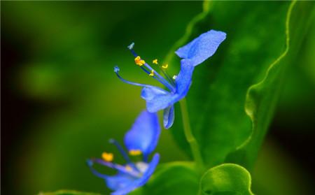 蓝色紫露草