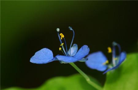 蓝色紫露草图片