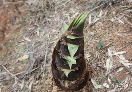 含氰化物的植物
