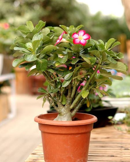 沙漠玫瑰盆栽