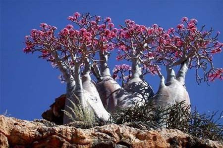 沙漠玫瑰造型