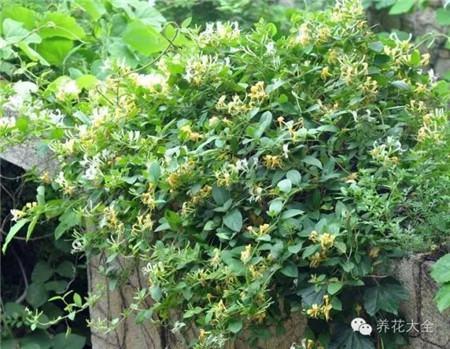 金银花生长