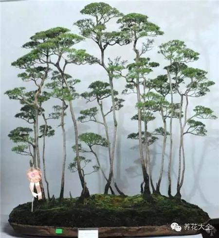 丛林式的盆景艺术