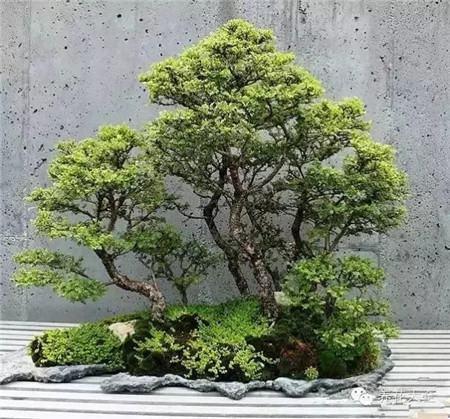 丛林式的盆景艺术图片