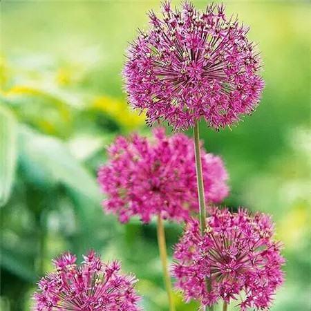 花葱 紫色轰动