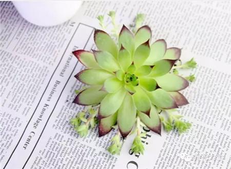 症状二:新生出的茎和嫩叶非常稀疏。