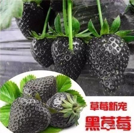 """""""黑暗家族""""——草莓"""