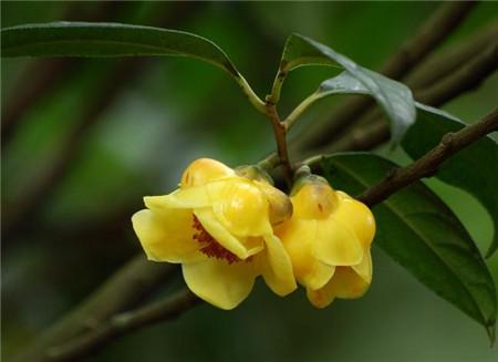 秋天的花——金花茶