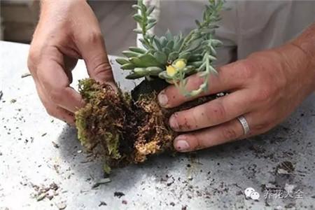 多肉根部放在苔藓上