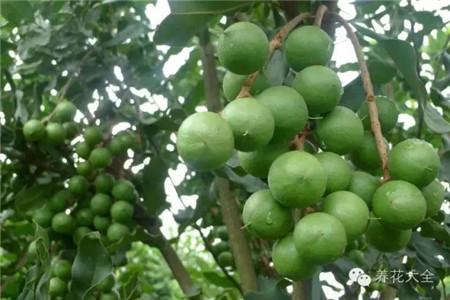 澳洲坚果在树上