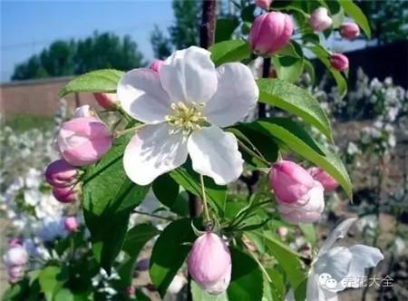 开心果开花