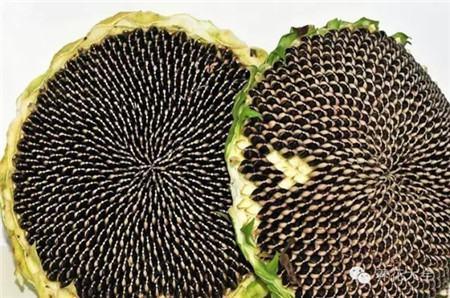 原生态葵花籽