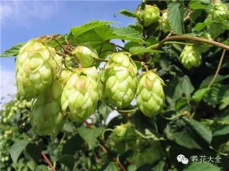 13.啤酒花