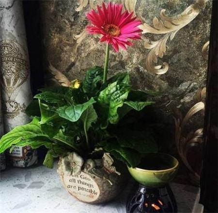 四季花开:非洲菊