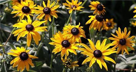 黑心菊的养殖注意事项