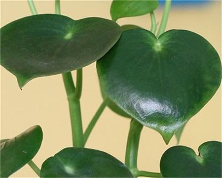 荷叶椒草的分布范围和生长习性