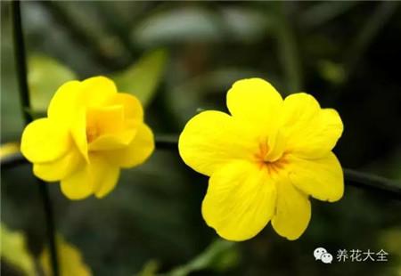 迎春花:5-6瓣