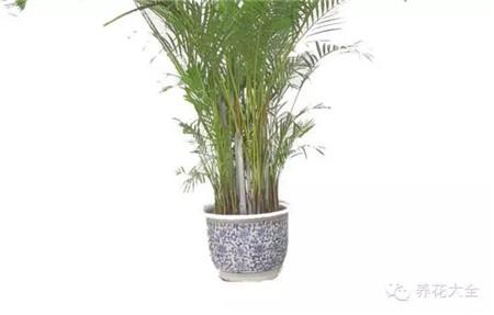 散尾葵茎秆:无竹节