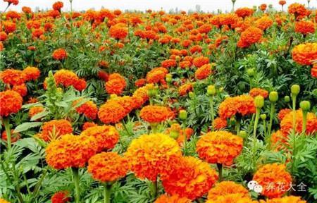 万寿菊花朵