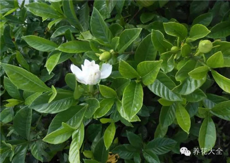 栀子花:单生枝顶端