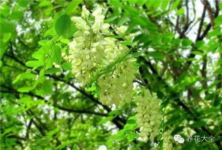国槐花:黄绿色